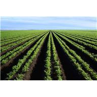 crops - rows