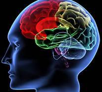 brain - in skull